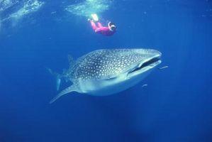 La théorie de l'évolution des requins