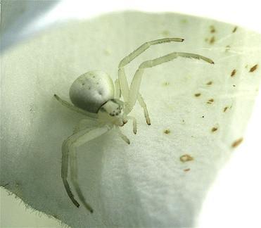 Spiders Michigan communs qui ne construisent pas Webs