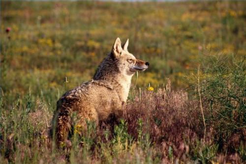 Comment protéger les enfants contre les Coyotes