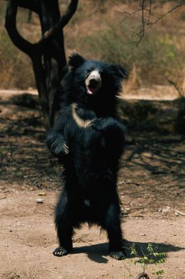 Les étapes de la vie d'un ours lippu