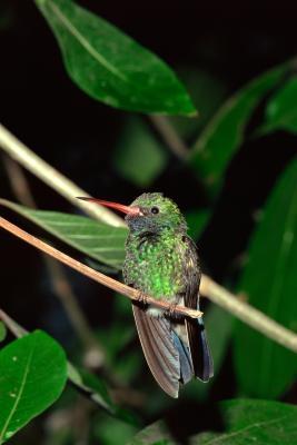 La migration des colibris au sud de la Floride