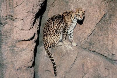 Types d'Arizona Wildcats