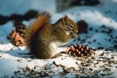 Écureuils du Wisconsin