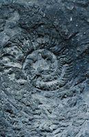 5 Type de Fossiles Trouvé à Rock