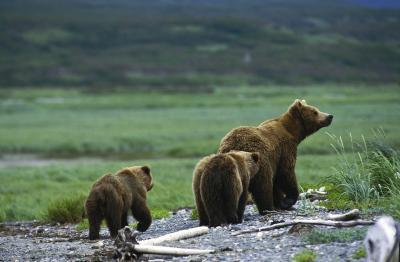 Habitat pour l'Ours Cubs