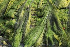 Types d'eau de mer d'algues