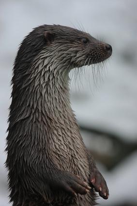 Faits sur Otters Marine