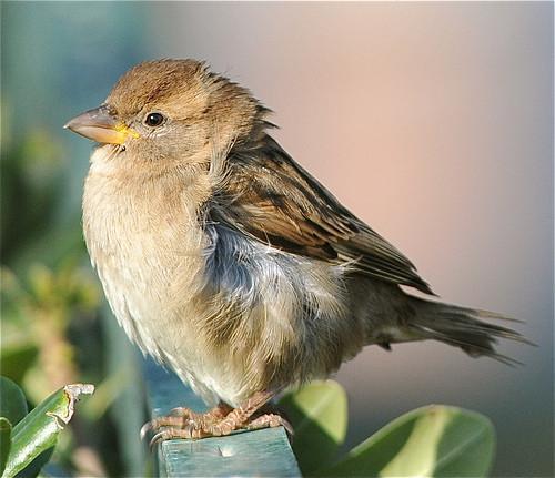 Comment les oiseaux mastiquer les aliments?