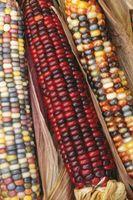 Comment préserver Indian Decorative Corn