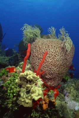 Types de Eponges dans le Phylum Porifera