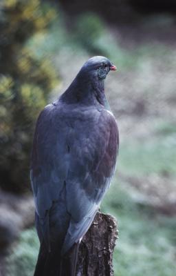 Comment construire un Pigeon Coop extérieur