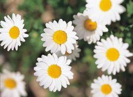 Daisy fleurs pour les mariages