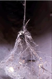 Comment identifier l'araignée Red Back