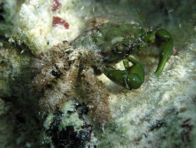 Comment attraper crabes bleus en Australie du Sud