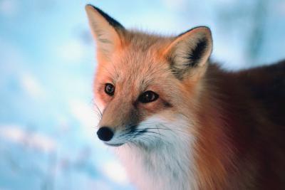 A propos de Red Foxes dans le Nebraska et le Minnesota