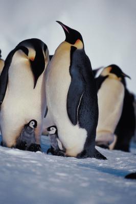 Les étapes de la vie des Penguins