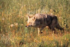 Différences entre les loups et les coyotes