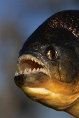 Quel type de Piranha Habitant Rivers?