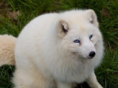 Faits sur la Fox Blanc
