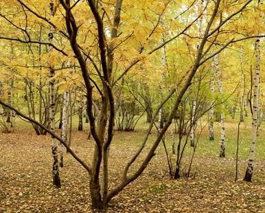 Caractéristiques des Bois de frêne