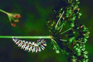 Comment identifier Cocons Caterpillar