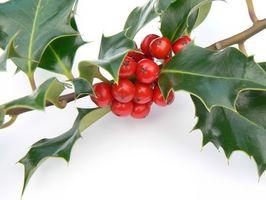 Quelle est la signification des plantes de houx à Noël?