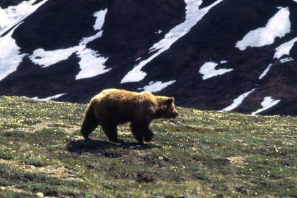 Combien de temps les Grizzlis Hibernate?