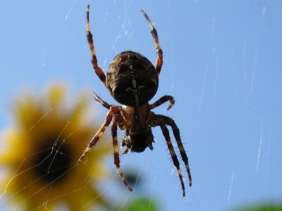Spiders communs de la Colombie-Britannique
