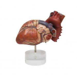 Les parties du corps humain