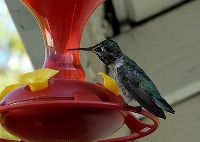 Pourquoi le sucre fait de l'eau pour les colibris ne tourne nuageux?