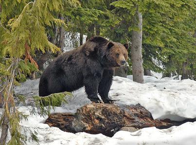 Comment un Grizzly Est-ce que trouver de la nourriture?