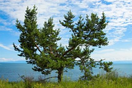 Pine Trees & l'écosystème