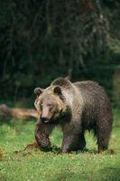 """Les meilleures façons de trouver Bears dans """"Red Dead Redemption"""""""