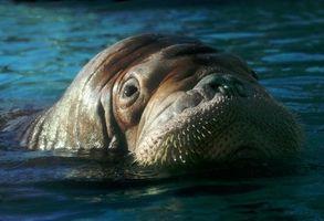 L'habitat naturel du Walrus