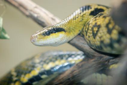 Comment préserver une peau de serpent