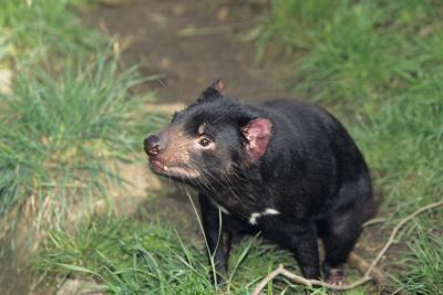 Sept niveaux de classification pour Tasmanian Devil
