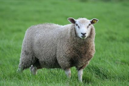 Maladies de moutons: Scabies