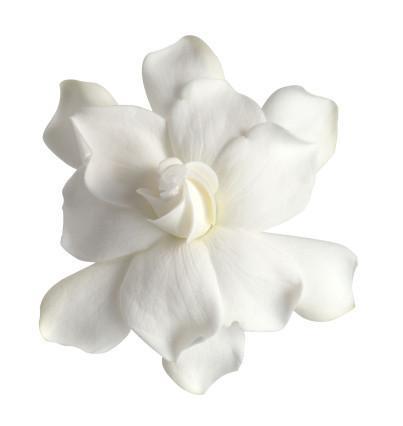 Comment faire Gardenia Huile Essentielle
