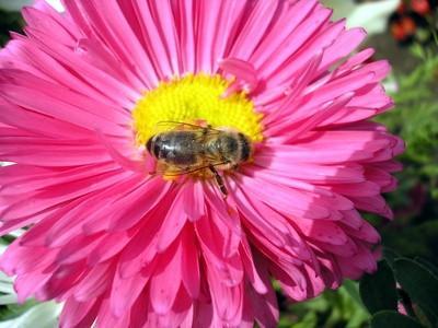 Comment les abeilles transportent le pollen?