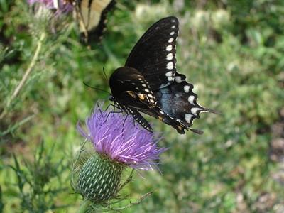 Noir machaon Habitat Papillon
