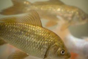 Quelles sont les causes d'ammoniac dans un aquarium d'eau douce?