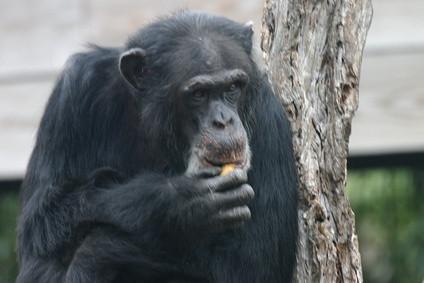 Comment comparer le tronc cérébral humain chez les humains et les chimpanzés