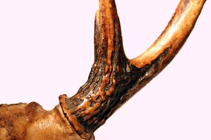 Comment obtenir la viande hors de Deer Bones