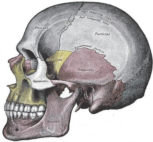 La structure squelettique des êtres humains