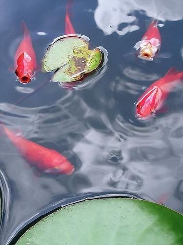 Quel poisson va aider à nettoyer un étang?