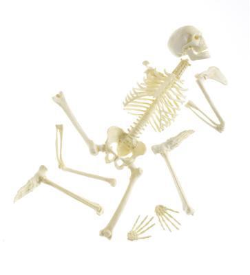 Composants squelette axial