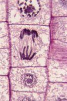 Trois raisons pour lesquelles la division cellulaire est important