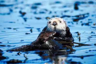 Comment faire la différence entre le Masculin et féminin Sea Otter