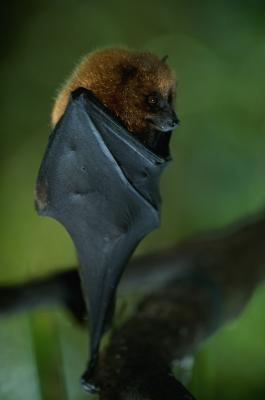 Quelles sont les utilisations de Bat Droppings?