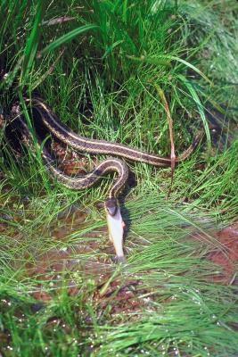 Différence entre un serpent jarretière et jardin